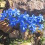 Frühlings-Enzian / Binntal