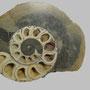 Ammonit mit Calcit / Passwang, Jura