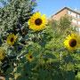 Sonnenblumensonntag in Meerbusch