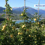 Typisch für das Nonstal - die Hänge voller Äpfel