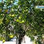 Das Haus ist von Zitronen- und Olivenhainen umgeben