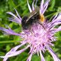 auch die Biene geniesst den Sonnenschein