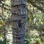 Spechtrillen vom Dreizehenspecht, welcher im Frühling den Zuckersaft aus der Rinde saugt