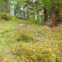 die ersten Alpenrosen blühen schon