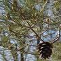 Méditerranée, un pin