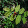 ●キイロスズメバチ