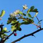 Der Herbst hat wohl Frühlingsgefühle - frische Blüte neben der Frucht