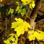 So satte Gelbtöbne schenkt uns der Herbst