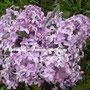 Ранняя крупноцветковая нежно-розовая с сильным ароматом