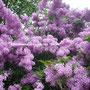 Сирень повторноцветущая мелколистная Персидская
