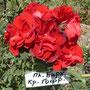 Красная бархатная, гофрированная, повторноцветущая, сильнорослая, обильноцветущая
