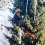 Baumfällung mittels Seilklettertechnik