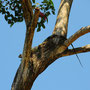 Kolumbien - Hier sind die Echsen etwas mehr scheu. Rennen weg oder sitzen auf Bäumen.