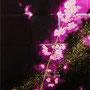 「櫻圖 ... 黎明の余白」/8号P(33.3×45.5cm)/パネル、キャンバス、油彩、金箔、アルミ箔
