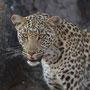 Leopard (Savuti Camp, Botswana, 2011)