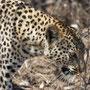 Leopard (Tubu Tree Camp, Botswana, 2011)