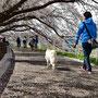 落合健二 「名残りの桜」 (藤沢市湘南台)