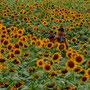 向日葵がいっぱい (座間市ひまわり畑) 仁井岸生