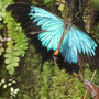 Der Ulyssus im Butterfly Sanctuary