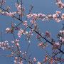 Die Kirschbäume fangen gerade an zu blühen