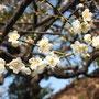 Die Japaner lieben ihre Kirschblüte