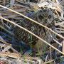 8 Agrate, vasca Volano, 08.04.2012