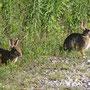 Conigli selvatici, Parco Adda Sud, 08.08.2010