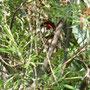 Picchio rosso maggiore, giovane