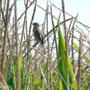 13 Parco Adda Sud, 08.08.2010, femmina in un campo di mais
