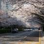 Kirschblüten in Busan