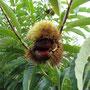 クリの果実