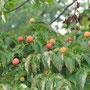ヤマボウシの果実