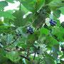 アオツヅラフジの果実