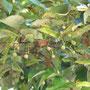 ボダイジュの果実