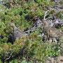 南アルプス悪沢東岳でのライチョウのペア