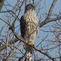 日野市多摩川でのオオタカの幼鳥