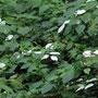 マタタビの花期の白い葉