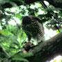 ツミ:餌を食べる幼鳥