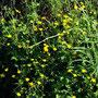 Ranunculus-acer