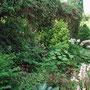 Le Jardin de Dan : vivaces du jardin d'ombre, hosta et thalictrum.