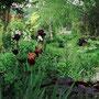 Le Jardin de Dan : allée serpentine entre les vivaces dont iris