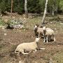 Schafe in Mæl