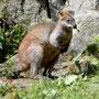 im Wallaby-Outback sitzen die Tiere direkt vor der Nase, ohne Zaun und doppelten Boden
