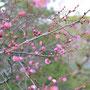 3月2日(日)京都相国寺の紅梅 7分咲き