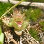 Nature : Elatine de brochon, espèce protégée décrite à Saucats