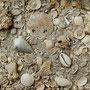 Géologie : Falun (sable fossilifère) du site de l'Ariey