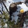 梨の木に松を移植してるそうです!