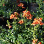 NEU Diascia `orange breeze´
