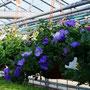 Blumenampel mit Surfinia `Sky Blue`