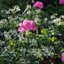 Schneeweißchen und Rosenrot - Bayrische Pflanze des Jahres